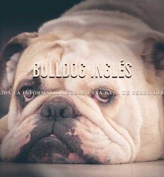 razas de perros bull dog ingles