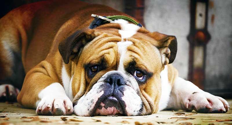 razas de perros bulldog