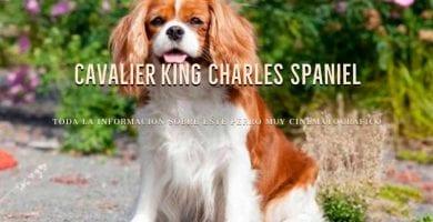razas de perros cavalier king charles spaniel