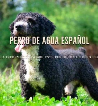 razas de perros de agua español