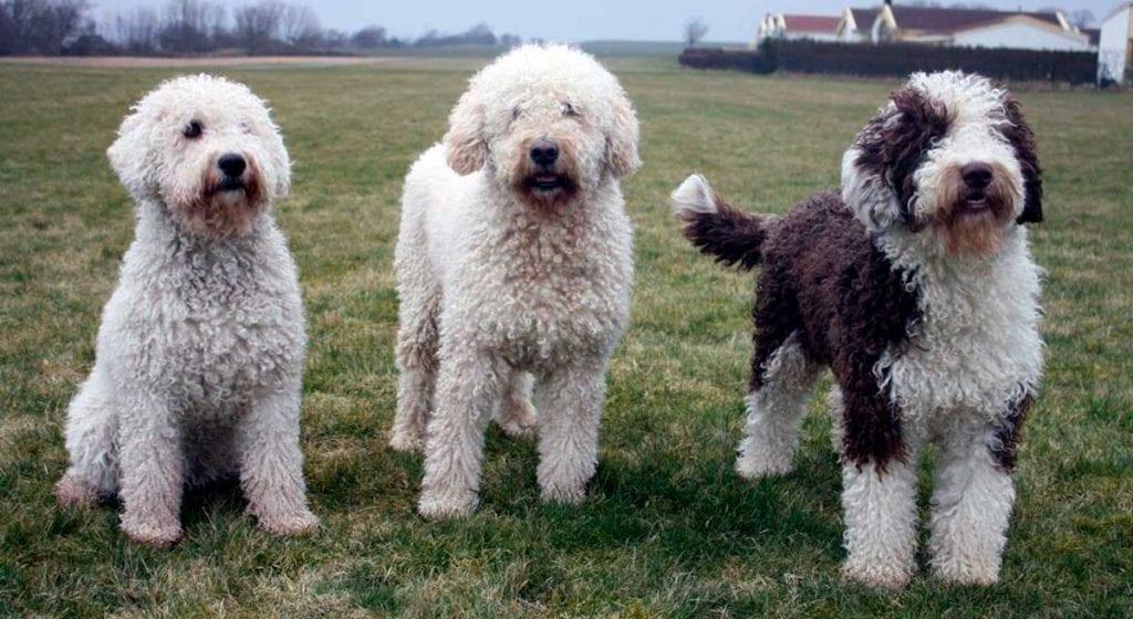 razas de perros españoles