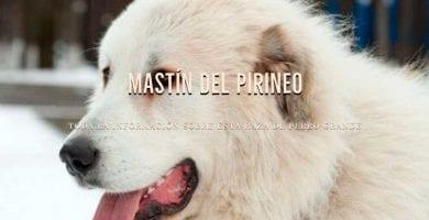 razas de perros mastin del pirineo