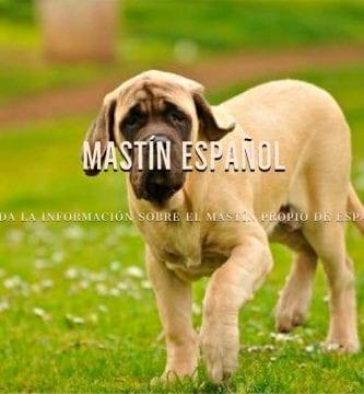 razas de perros mastin español