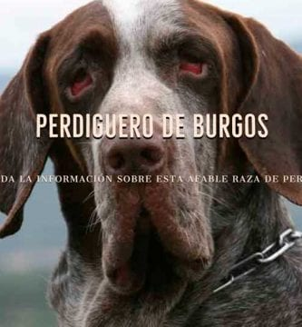 razas de perros perdiguero de burgos
