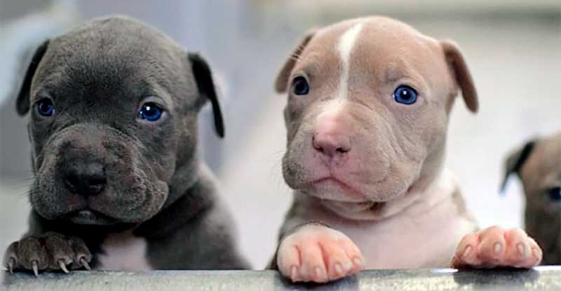 razas de perros pitbull cachorros