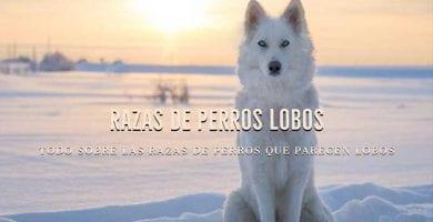 razas de perros que parecen lobos