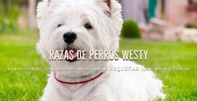 razas de perros westy