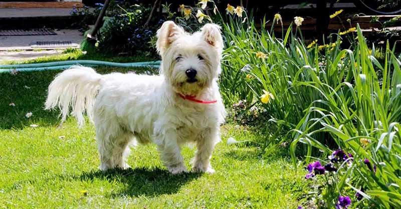 razas de perros westy terrier