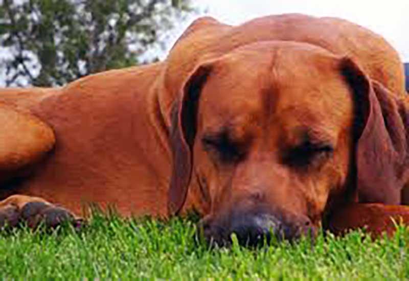 rhodesian ridgeback cachorros