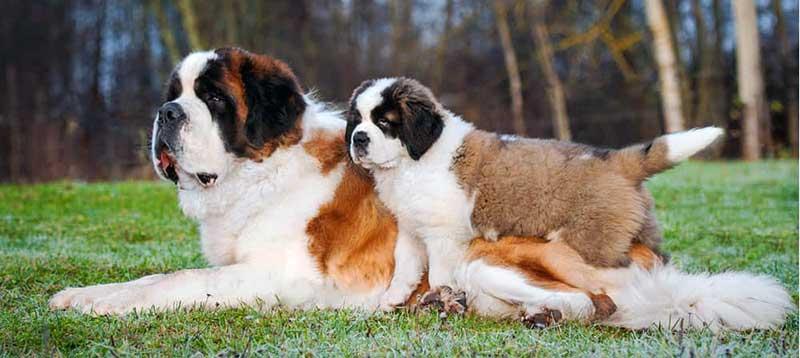 san bernardo perro cachorro