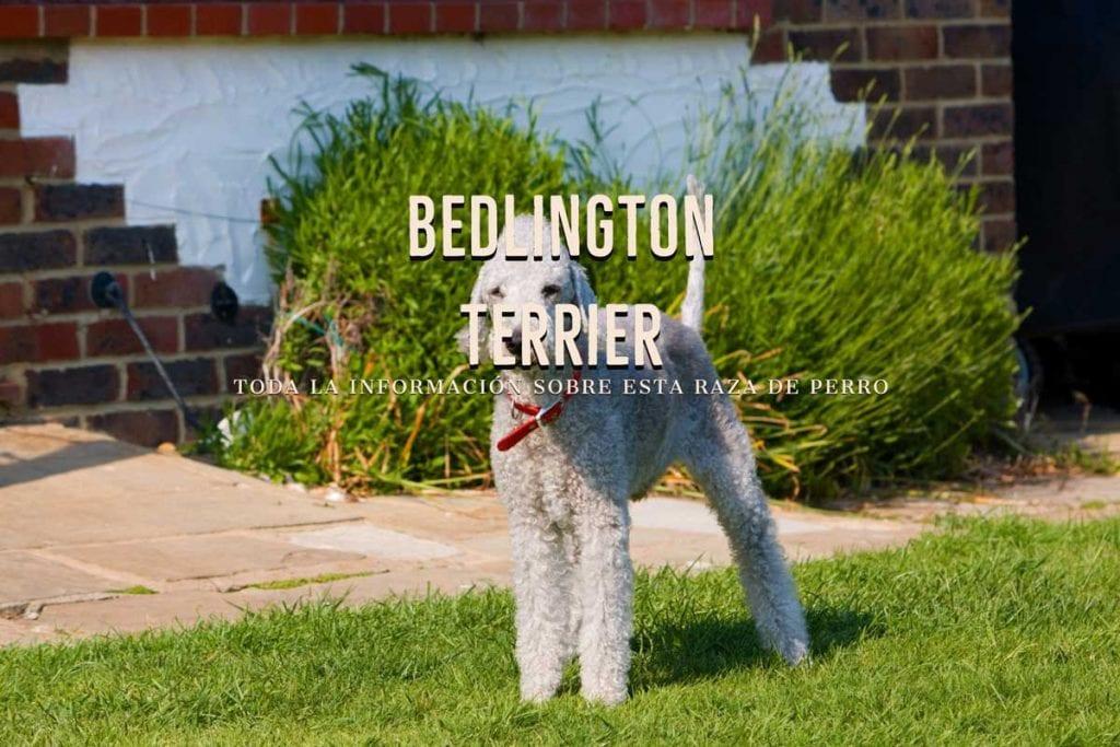 Bedlington Terrier razas de perros