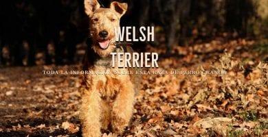 Welsh Terrier razas de perros