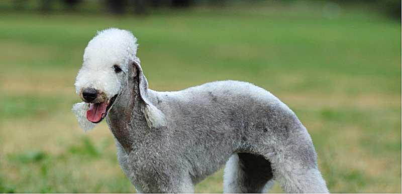 bedlington terrier cachorro