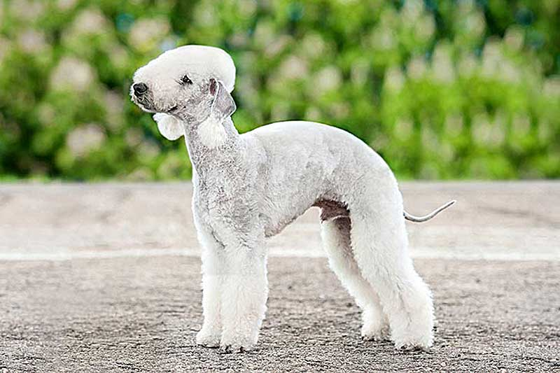 bedlington terrier comprar