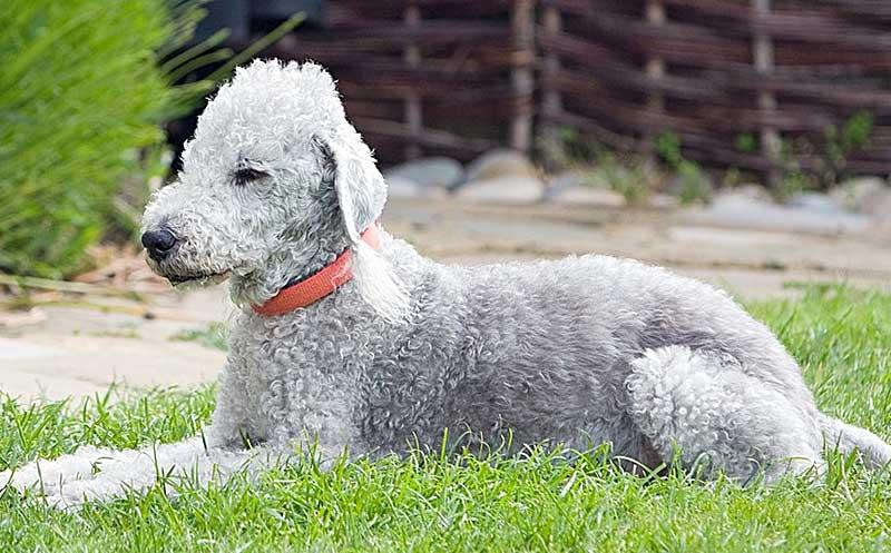 bedlington terrier precio