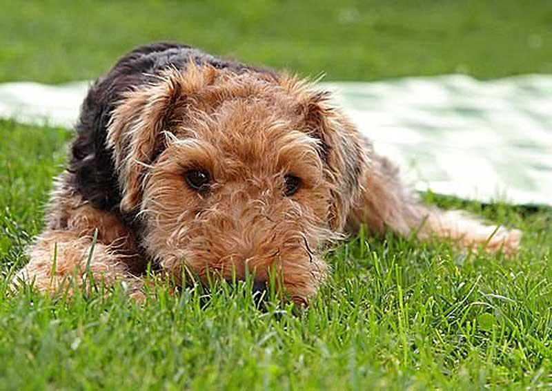 educar welsh terrier