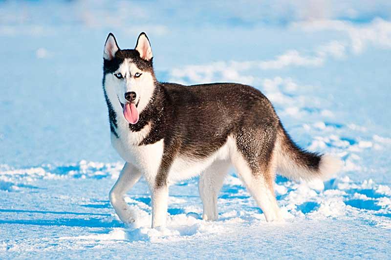 malamute de alaska cachorro