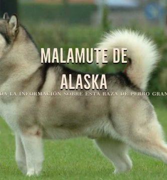 malamute de alaska razas de perro