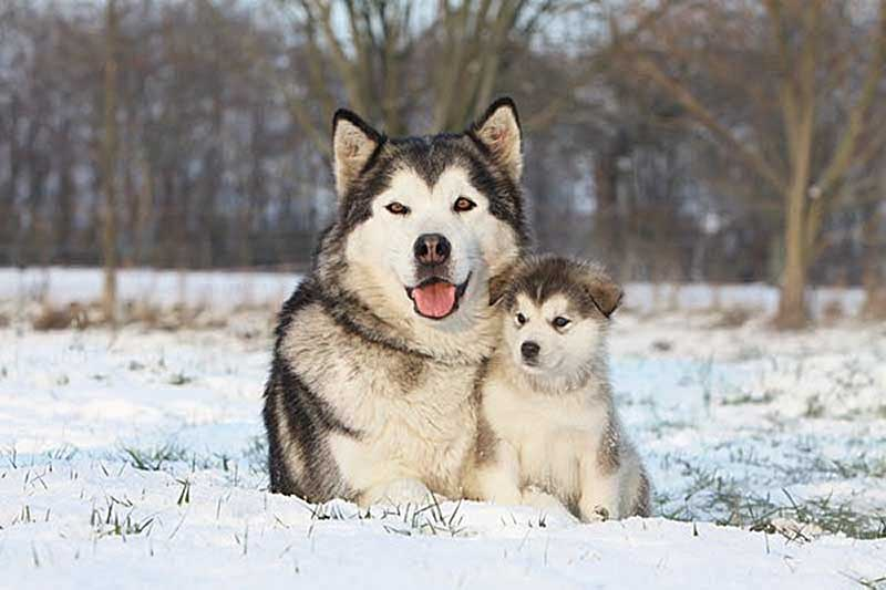 perro alaska malamute