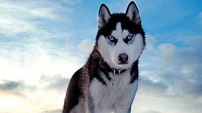 raza de perro alaska malamute