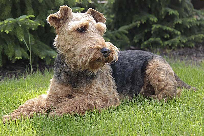 terrier welsh