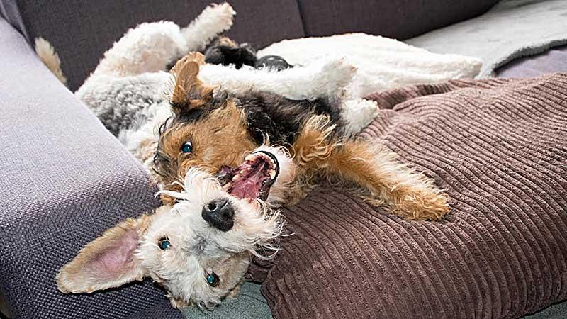 welsh corgi terrier